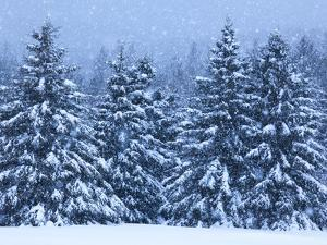 Snow Covered Trees in the High Peaks Region of Adirondack Park by Michael Melford
