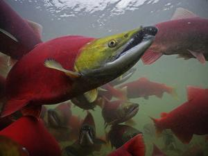 Sockeye Salmon Find their Way from the Ocean to their Natal Stream by Michael Melford