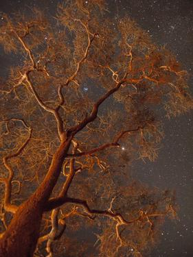Stars Shine Through Campfire Lit Acacia Tree Branches at Night by Michael Melford
