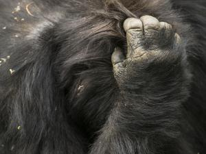 The Chest and Hand of a Mountain Gorilla from the Umubano Group by Michael Melford
