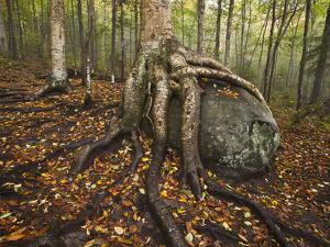 The Roots of a Yellow Birch Tree Wrap Around a Boulder by Michael Melford