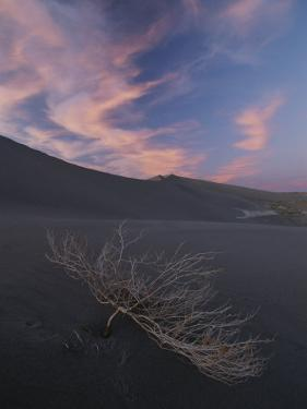 The Withered Branches of a Dead Shrub Lie on a Sand Dune by Michael Melford