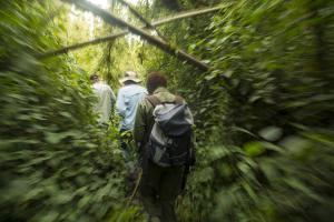 Three Men Hiking on a Jungle Path to Visit the Umubano Group of Mountain Gorillas by Michael Melford