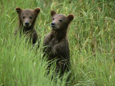 Two Grizzly Bear Cubs in Tall Grass in Katmai National Park by Michael Melford