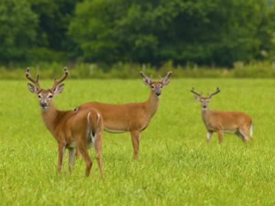White-Tailed Deer in Cades Cove by Michael Melford