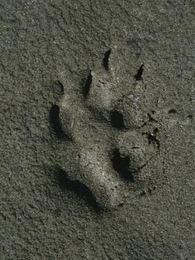 Wolf Track, Firth River, Yukon Territory by Michael Melford