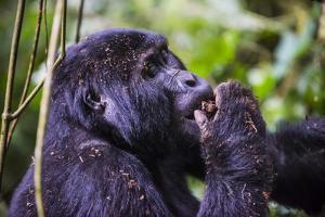 Mountain Gorilla (Gorilla Beringei Beringei) in the Bwindi Impenetrable National Park by Michael