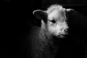 Dramatic Lamb (Black & White) by Michael Neil O'Donnell