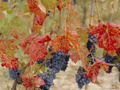 Autumn Colours in a Vineyard, Barbera Grape Variety, Barolo, Serralunga, Piemonte, Italy, Europe