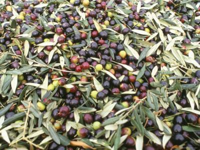 Close-Up of Olives Harvested at Frantoio Galantino, Bisceglie, Puglia, Italy