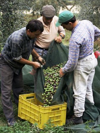 Gathering Olives for Fine Extra-Virgin Oil, Frantoio Galantino, Bisceglie, Puglia, Italy