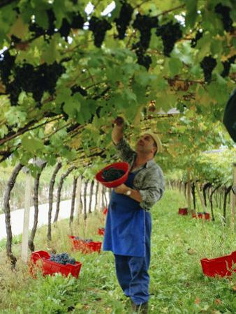Man Picking Kabinett Grapes at Traminer Below Bolzano, Alto Adige, Italy