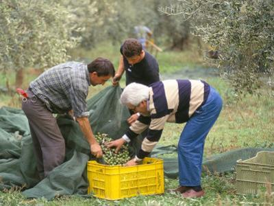 Michele Galantino Gathering Olives for Fine Extra Virgin Oil on His Estate, Puglia, Italy