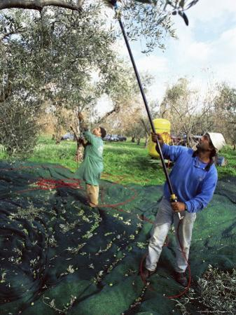 Vibrating Olives from the Trees in the Groves of Marina Colonna, San Martino, Molise, Italy