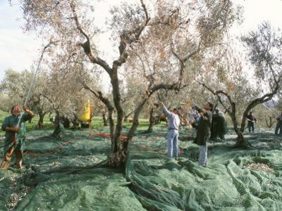 Vibrating the Olives from the Trees in the Olive Groves of Marina Colonna, Molise, Italy