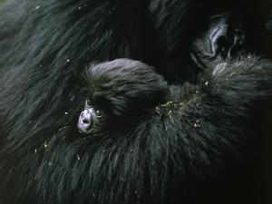 A baby mountain gorilla is cuddled by her mother by Michael Nichols
