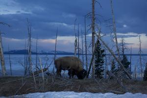 A Bison at Mary's Bay in Yellowstone National Park by Michael Nichols