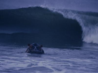A hippopotamus surfs the waves off the coast of Gabon by Michael Nichols