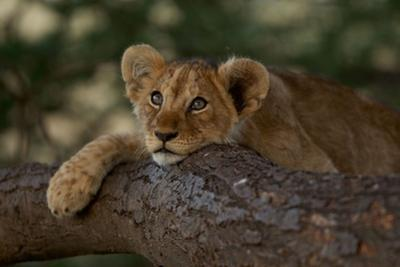 A Lion Cub Rests on a Tree Branch in Serengeti National Park by Michael Nichols