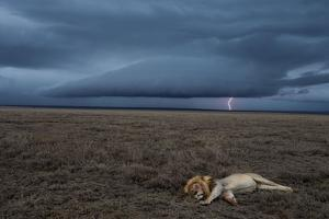 A Male Lion at Rest in the Serengeti Plains During a Lightning Storm by Michael Nichols