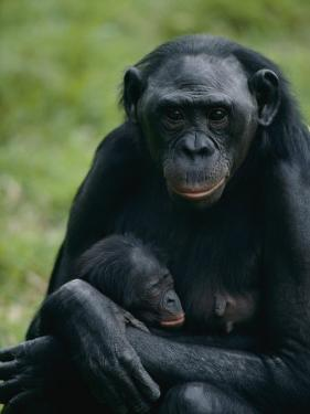 A Mother Bonobo Holds Her Baby at the San Diego Wild Animal Park by Michael Nichols