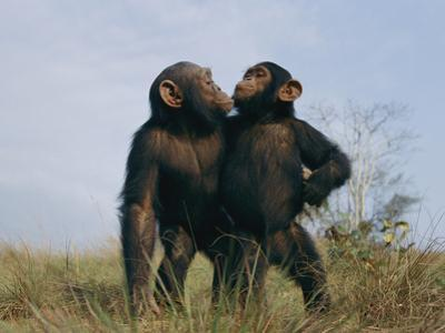 A Pair of Orphan Chimpanzees at the Tchimpounga Sanctuary by Michael Nichols
