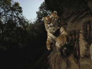 A remote camera captures a leaping tiger by Michael Nichols