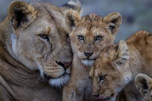 A Remote Car Captures Lion Cubs from the Vumbi Pride with a Lioness by Michael Nichols