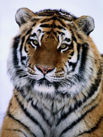 A Siberian Tiger at the Minnesota Zoological Garden by Michael Nichols