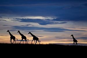 A Small Herd of Giraffe on the Serengeti Plains by Michael Nichols