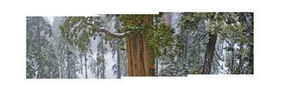 A Team of Scientists Measure a Giant Sequoia by Michael Nichols