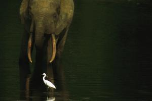 African Forest Elephant and Egret in the Calm Water of Langoue Bai by Michael Nichols