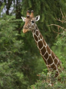 Alert Giraffe by Michael Nichols