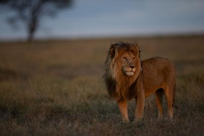 An Adult Male Lion at Rest in the Serengeti Plains by Michael Nichols