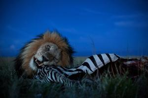 An Adult Male Lion, C-Boy, Feasts on a Zebra by Michael Nichols