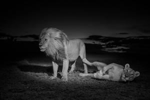 An Adult Male Lion, Hildur, and a Vumbi Female Rest after Mating by Michael Nichols