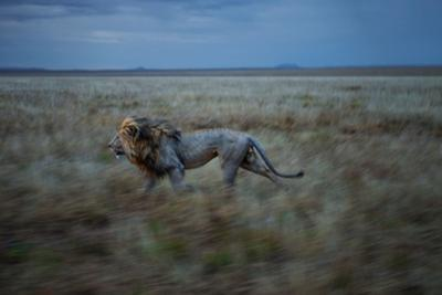 An Adult Male Lion, Hildur, Frequently Makes a Long Run to Visit the Simba East Pride by Michael Nichols