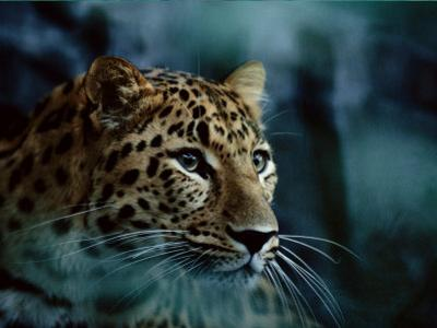 An Amur Leopard at the Minnesota Zoological Gardens by Michael Nichols