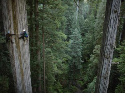 Botanists Take a Core Sample of a 350-Foot Giant Redwood Tree by Michael Nichols