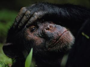 Close-up of a Chimpanzee Holding its Forehead by Michael Nichols