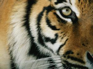 Close View of an Indian Tiger by Michael Nichols