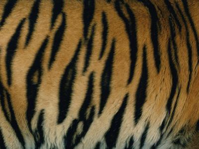 Close View of the Stripes on a Indian Tiger by Michael Nichols