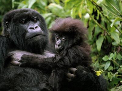 Female Mountain Gorilla and Her Child, Rwanda by Michael Nichols