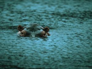Hippopotamus Peers Out of the Water by Michael Nichols