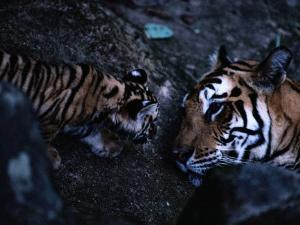 Indian Tiger with One of Her Three Cubs by Michael Nichols