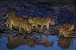 Lionesses and Cubs of the Vumbi Pride Drink from a Shrinking Waterhole by Michael Nichols