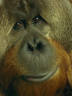 Male Orangutan by Michael Nichols