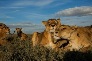 Older Cubs are Raised Together as a Creche, or Nursery Group by Michael Nichols