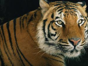Portrait of an Indian Tiger by Michael Nichols