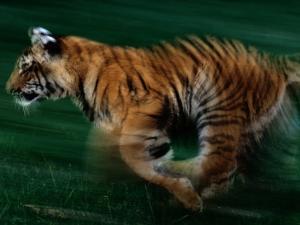 Running Tiger by Michael Nichols